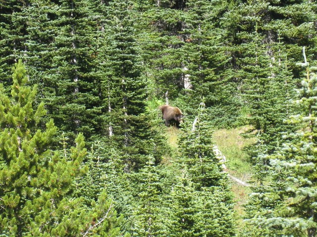 Grizzly. Wonderland Trail